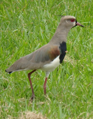 Argentine/Brazilian equivalent of Plover...and as aggressive