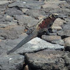 Biggest marine Iguana to date