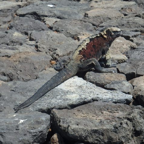 Biggest marine Iguana to date