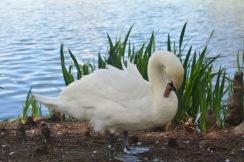 Swan preening at Kew Gardens