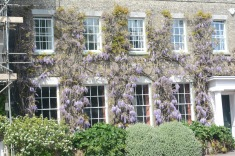 Wisteria hiding the house