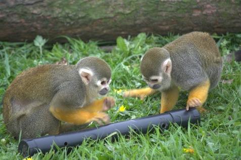 inquisitive squirrel monkey's