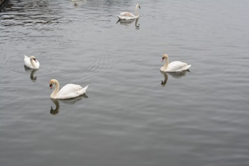 Swanning around!