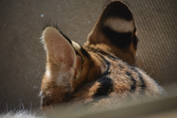 Serval playing coy