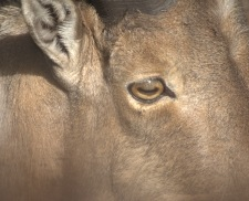 Eye of Barbary sheep