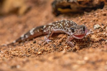 Rough Knob tailed Geck