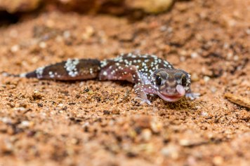 Rough Knob tailed Gecko just wiping its eye