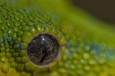 Eye of Green Tree Snake