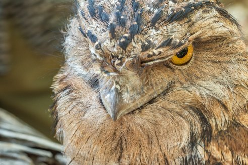 Tawny Frogmouth (with attitude)