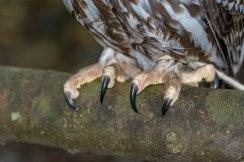 Barking Owl Talons