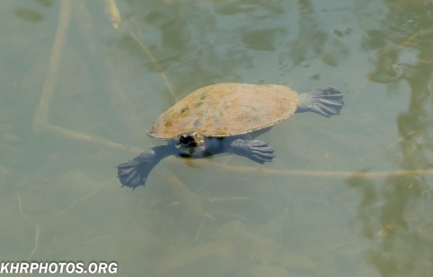 One of many Turtles in the river at Canungra
