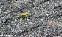 Locust or Grasshopper