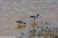 Oyster Catchers?