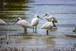 Spoonbills in the early evening