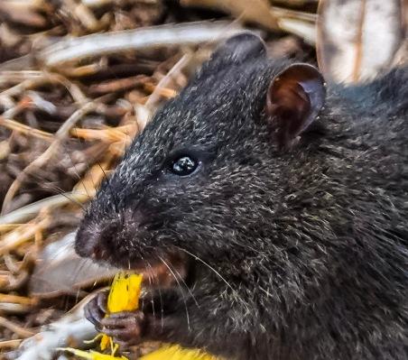 Rat or Potoroo!!!!