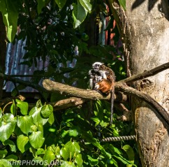 Cotton top tamarin mum and baby
