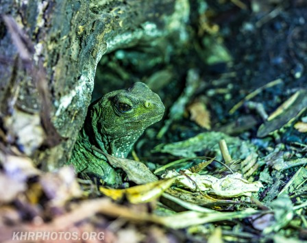 Tuatara (shy this day)