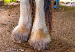 Shire Horses (5 of 21)